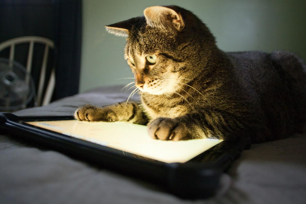Katt som ser på et nettbrett
